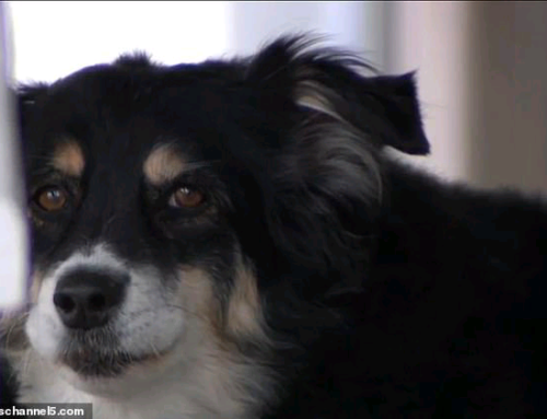 Tennessee man leaves $5 MILLION to his 8-year-old border collie Lulu which will be put in a trust to pay for her expenses